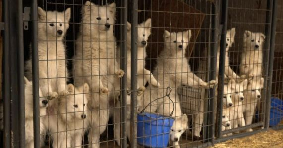 Texas Puppy Mill Bill Passes In The House, But Officials Fight Back