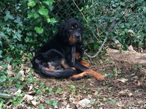 How Does A Rottweiler Rescue Screen You To Check If You Can Be A Suitable Rottweiler Owner?